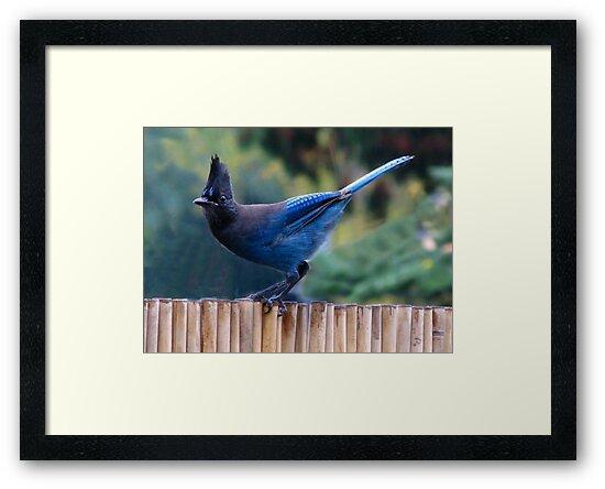 ~ Steller's Jay ~ by Brenda Boisvert