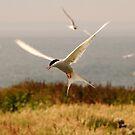Arctic Tern - Farne Island, UK by Derek McMorrine