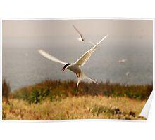 Arctic Tern - Farne Island, UK Poster