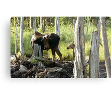 Bull Moose & Little Buddy Metal Print