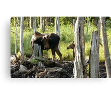 Bull Moose & Little Buddy Canvas Print