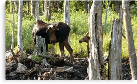 Bull Moose & Little Buddy by mooselandtours