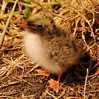 Arctic Tern Chick - Farne Island, UK by Derek McMorrine