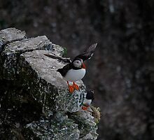 A Puffin.  having a flap. by dougie1page2