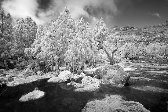 Pencil PInes at the Pool of Bethesda by Mike Calder