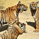 Tigers at Water Play by Carole-Anne