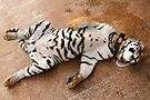Sleeping Tiger Cub, Thailand by Carole-Anne