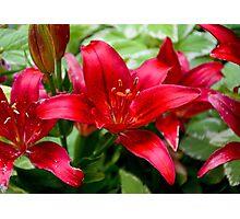 Winter Park Lilies  Photographic Print