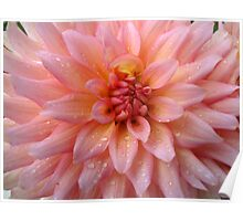 Pink Dahlia After the Rain in the Garden Poster