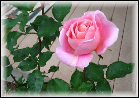 Pink Rose by Debbie Robbins