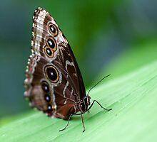 Beauty of the butterfly - Owl Butterfly by Darren Bailey LRPS