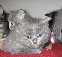 Grey Kitten With Littermates by silverdragon