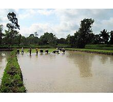 Planting Rice Photographic Print
