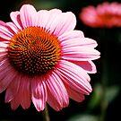 Echinacea by Sunshinesmile83