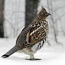 Ruffed Grouse by Stan Wojtaszek