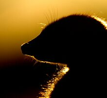 Meerkat at dusk. by George Woodcock
