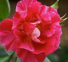 Rose Guy Savoy, my garden, Cranbourne, Australia by Reneefroggy