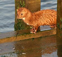 Mink feasting on Fish by Paulette1021
