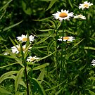 Daisies Beautiful Wild Daisies by KatsEye