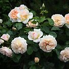 Perdita, David Austin rose tree growing in my garden by eveline