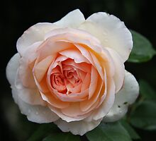 Abraham Darby, David Austin rose growing in my garden by eveline