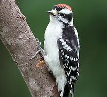 Robust Downy Junior / Downy Woodpecker by Gary Fairhead