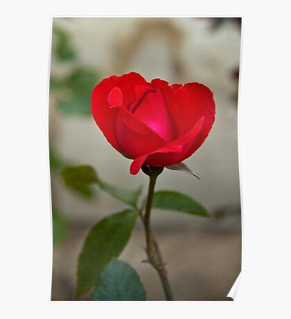 Van Gogh Red Rose  Poster