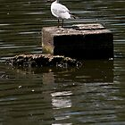 Black Headed Gull by David J Knight