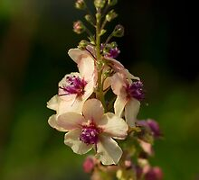 Verbascum 'Southern Charm' by Andrew Leighton