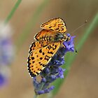Butterfly on Lavender by marens