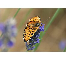 Butterfly on Lavender Photographic Print