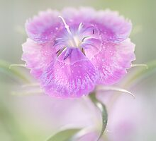Dianthus by Mandy Disher