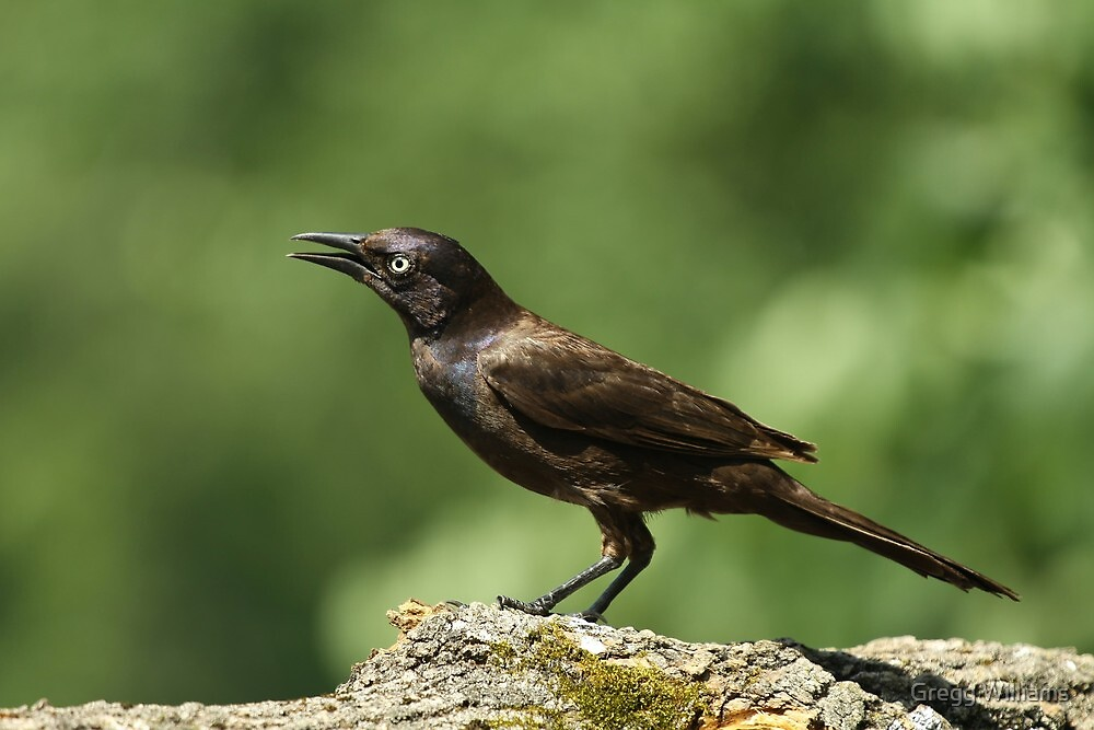 Commom Grackle by Gregg Williams