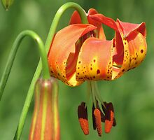 Lily on the Prairie by lorilee