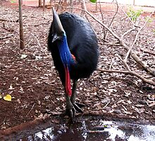The Cassowary by dozzam