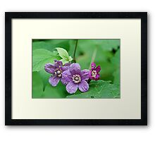 Purple Flowering Rasberry Framed Print