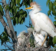Mother Cattle Egret and Chicks by Bonnie T.  Barry
