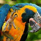 Macaw  by Dennis Stewart