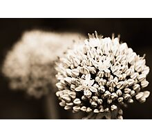 Onion flowers Photographic Print