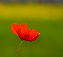Lensbaby poppy 02 by Barry Culling