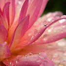 Droplets on Dahlia by peacegirl