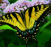 Tiger Swallowtail by Brent McMurry