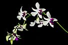Orchids by RebeccaBlackman