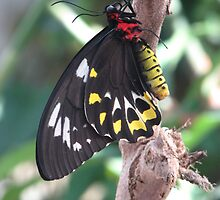 Birdwing Beauty by autumngirl