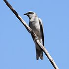 Black-faced Cuckoo-Shrike by mosaicavenues