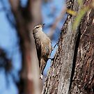 Brown Treecreeper by Kerryn Ryan, Mosaic Avenues