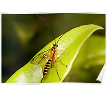 The Yellow-Banded Ichneumon Wasp Poster
