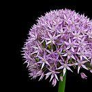 Giant Allium by Kathleen Brant
