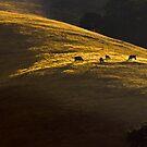 Black Angus at Dawn by Zane Paxton