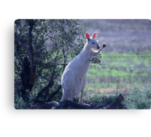 Skippy the white Kangaroo in the Mallee Canvas Print